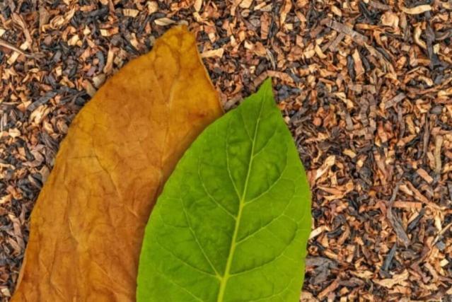 Une feuille sèche et une feuille fraiche de tabac sur un lit de tabac haché